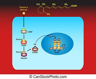 Vitamin A (retinol) - Illustration about the gene regulation...