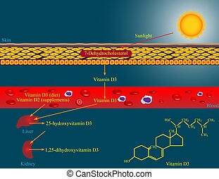 Vitamin D metabolism - Illustration of vitamin D metabolism