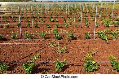 viticultura, con, uva, saplings