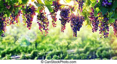viticultura, el, sol, eso, ripens