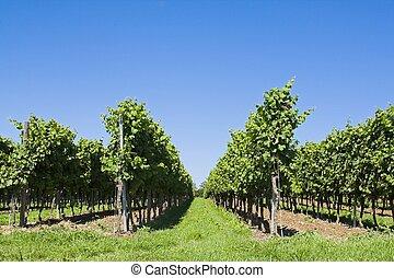Symmetric photo of vinculture with a blue sky