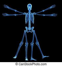 vitruvian, -, esqueleto, hombre