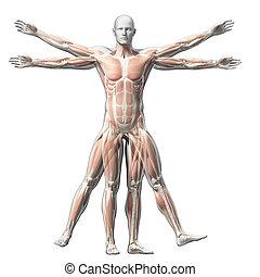 vitruvian, músculo, -, sistema, hombre