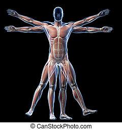 vitruvian, músculo, -, sistema, homem