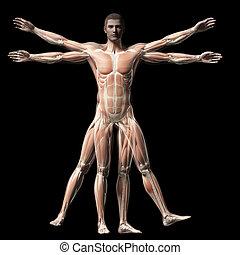 Vitruvian man - muscle system