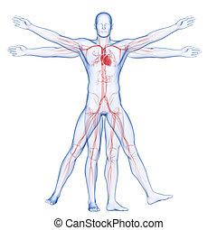 vitruvian mann, -, system, vaskulär