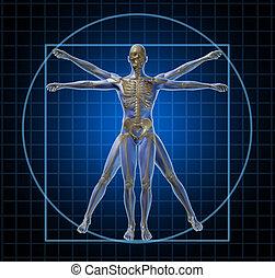 vitruvian, skelett, mänsklig, man