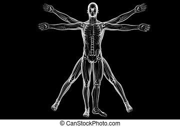 vitruvian, squelette, homme