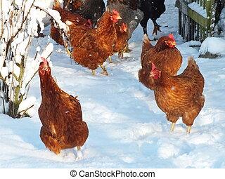 vivant, poulets, hiver, neige
