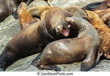 viveiro, steller, mar, lions., ilha, em, oceano pacífico,...