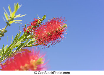 Australian Callistemon red bottlebrush flowers