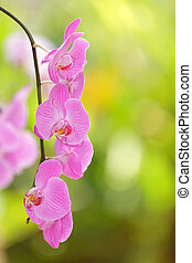 vivid pink orchid flowers, shallow depth of field