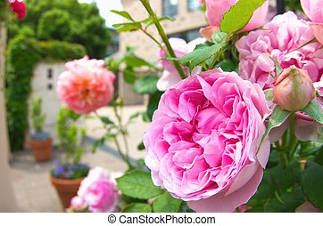 vivid pink rose - this photo is taken in Nagoya city