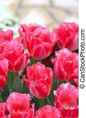 vivid pink tulip flowers
