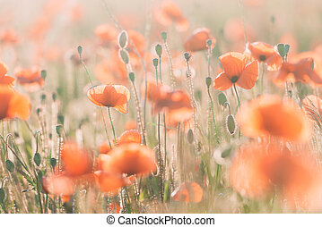 Vivid poppy field during sunset - Vivid dreamy poppy field...