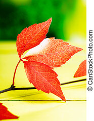 Closeup pf vivid red autumn or fall leaves from the virginia creeper symbolising the changing seasons