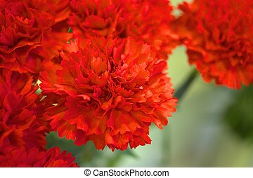vivid red carnation - this photo is taken in flower shop in...
