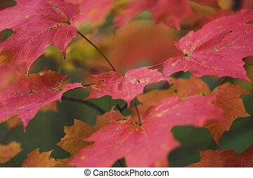 Vivid Red Maple