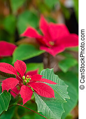 vivid red poinsettia - this photo is taken in Kyoto
