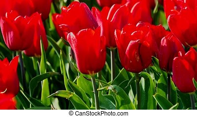 Vivid red tulips - Close view of vivid red tulips on meadow...