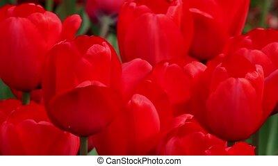 Vivid Ted Tulips Loop