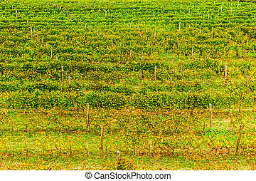 Vivid vineyard in autumn