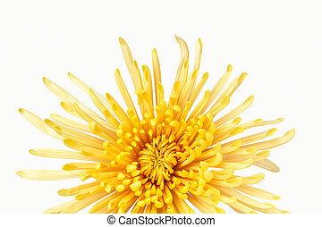 Vivid yellow chrysanthemum