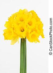 Vivid yellow daffodils