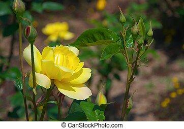 vivid yellow rose