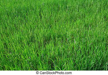 vivid young wheat
