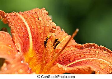 vivido, rosso, giglio giorno, pioggia
