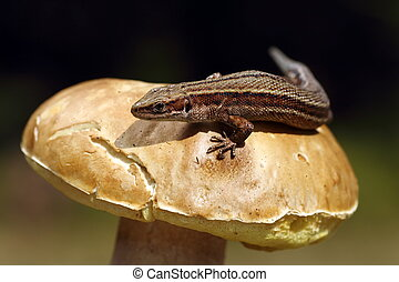 viviparous lizard basking on mushroom - viviparous lizard...