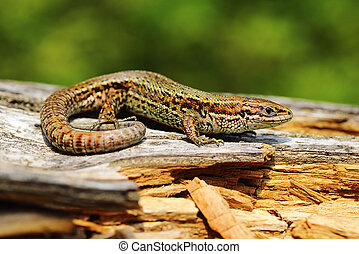 viviparous lizard basking on stump - viviparous lizard...