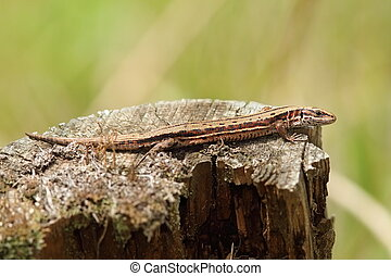 viviparous lizard basking on tree trunk ( Zootoca vivipara )