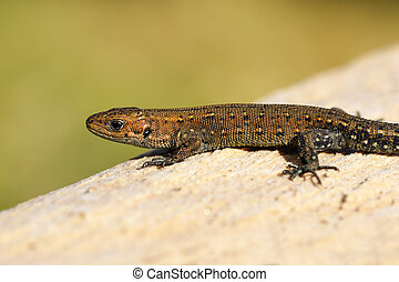 viviparous lizard basking on wood stump ( Zootoca vivipara )