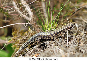 lizard camouflaged in its habitat - viviparous lizard...