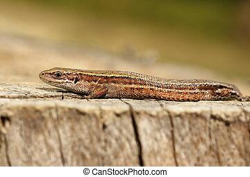 viviparous lizard closeup - closeup of viviparous lizard...
