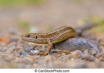 Viviparous lizard head and body - Viviparous lizard (Zootoca...