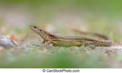 Viviparous lizard in grass - Viviparous lizard (Zootoca...