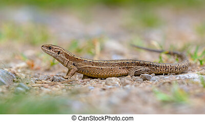 Viviparous lizard seen from side - Viviparous lizard...