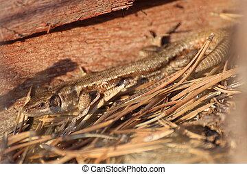 Viviparous lizard, Zootoca vivipara, bathing in the sun.