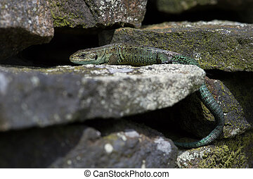 Viviparous Lizard (Zootoca vivipara) - Common Lizard basking...