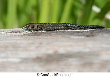 Viviparous lizard (Zootoca vivipara) - Juvenile Viviparous ...