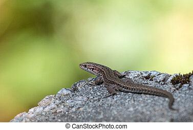 Viviparous lizard, Zootoca vivipara, resting on a rock on a...