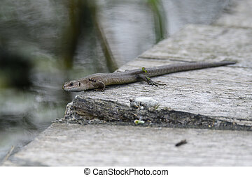 Viviparous lizard, Zootoca vivipara, resting on a way. ...