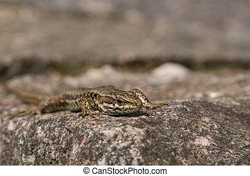 Viviparous lizard - Zootoca vivipara, viviparous lizard...