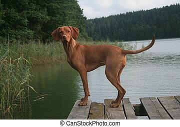 Vizsla at the lake