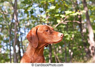 vizsla, bosque, perro, húngaro