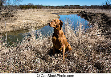 Vizsla Dod Sitting in a Field