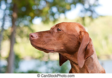 Vizsla Dog Closeup in the Forest
